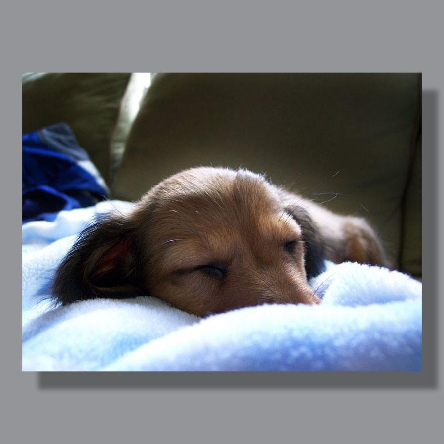 Image: dachshund puppy